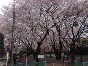 新学年スタート! 小台東公園・桜満開です♡