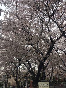 2017桜満開♪小台東公園