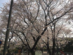 2018春 小台東公園の桜です♪