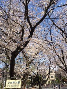 2019桜満開☆&美容点滴治療を開始しました(効果報告あり♡)